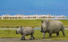 Two African Black Rhinoceroses