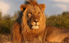 Male lion lying in dried grass majestically staring into the distance at sunset | South Africa