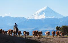 Gauchos herding cattle in Patagonia.