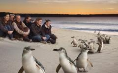 australia people on beach watching penguins at sunset ocean