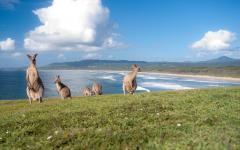 australia kangaroos on beach coastline