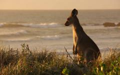 australia kangaroo on the beach at sunset looking towards the ocean