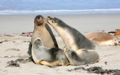 australia family of seals on the beach next to the ocean