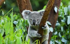a koala bear holds on to a tree