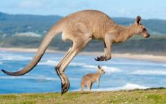 australia two jumping kangaroos on kangaroo island