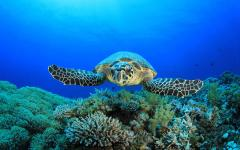 australia great barrier reef sea turtle