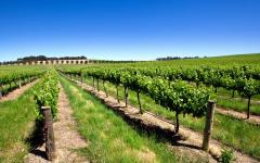 a vineyard in the barossa valley on a sunny day