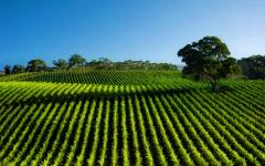 australia lush green vineyard and bright blue sky