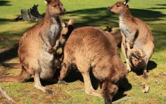 a mob of kangaroos on kangaroo island