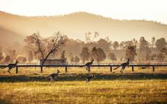 a group of kangaroos in the hunter valley on a misty day