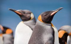 Australia King Penguins