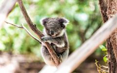 australia young koala sitting in a tree
