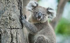 australia koala bear up a tree