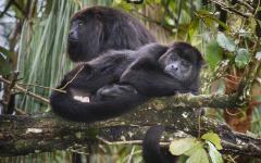 Black howler monkeys at the Belize Zoo.