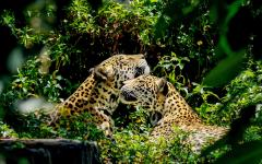 Two jaguars in the Belize zoo.