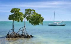 A pair of mangrove trees off the coast of Caye Caulker.
