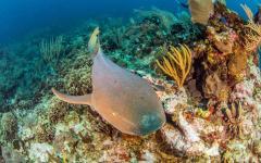 Nurse shark underwater of the shores of Belize
