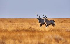 Two oryx (antelope) in Botswana's Etosha National Park.