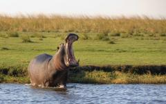 Adult hippo showing off its teeth as it yawns in waste-deep water | Chobe National Park, Botswana, Africa