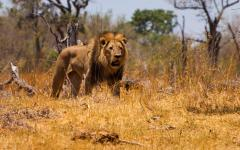 Male lion lurking in the tall, dry grass in the Moremi Game Reserve, Botswana, Africa