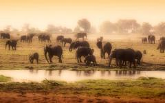 Herd of African elephants on the Okavango Delta in Botswana, Africa