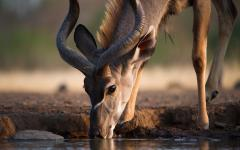 Kudu drinking at a waterhole.