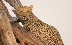Leopard in Botswana.