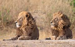 Two male lions lying side-by-side with their manes blowing in the breeze | Botswana, Africa