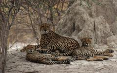 Family of cheetahs on the Okavango Delta.