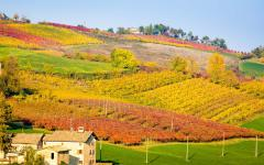 The vineyards around Castelvetro di Modena near Bologna, Italy.