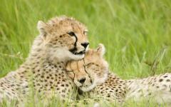 Cheetah cubs huddled together.