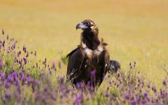 The rare black vulture, found in Spain's Hornachuelos Natural Park.