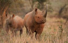 The endangered black rhino.