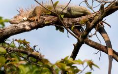 Iguana in the trees of Tortuguero National Park.