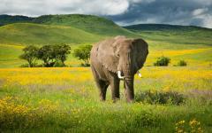 An elephant near the Ngorongoro Crater in Tanzania.