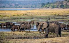 Elephants roam by the river in Chobe National Park.