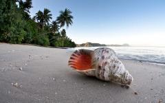Triton trumpet shell on beach in Fiji.