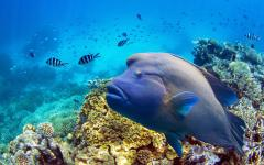 a blue fish swims in front of the great barrier reef and other smaller fish