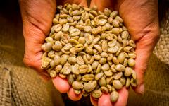 A handful of Colombian coffee beans.