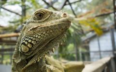 Close up of an iguana in San Ignacio Belize