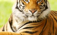 Closeup of a bengal tiger in India.