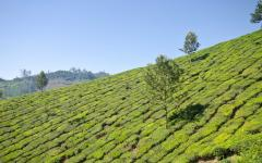 Beautiful tea plantation in Munnar.