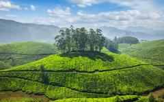 Tea plantation Munnar, Kerala.