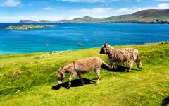Donkeys in Dingle, Ireland. Credit: Ireland Tourism Board