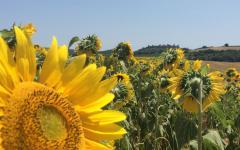 Sunflorwer Groves in Tuscany.  Photo Credit: Bike Florence&Tuscany