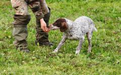 A trained dog sniffs out truffle mushrooms.