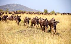 The Great Migration in Kenya.