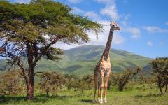 Giraffe in Masai Mara National Park Kenya Africa
