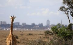 Behind view of a Kenyan Giraffe gazing at the city in the distance