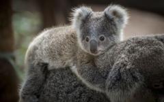 australia gray koala baby riding on the back of the mother